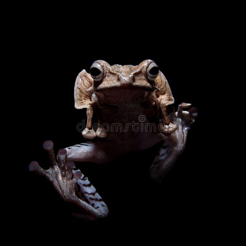 在黑背景的婆罗洲有耳的青蛙 免版税图库摄影