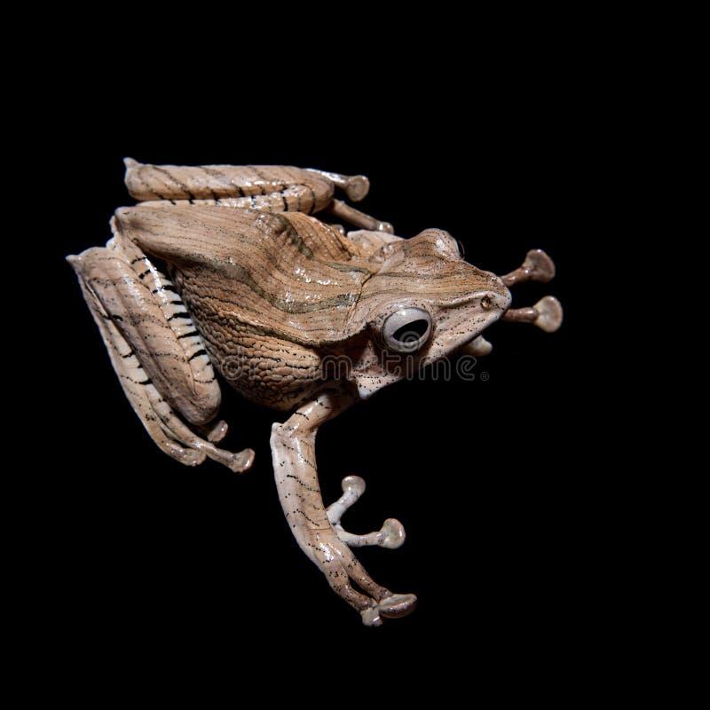 在黑背景的婆罗洲有耳的青蛙 免版税库存图片