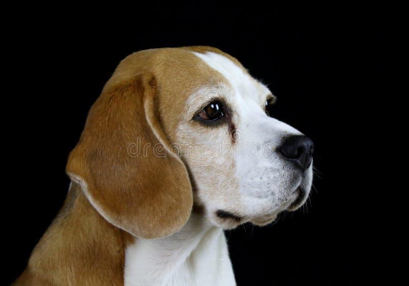 在黑背景的小猎犬狗 免版税库存照片