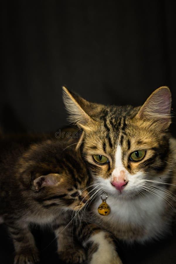 在黑背景的小猫在演播室 免版税库存图片