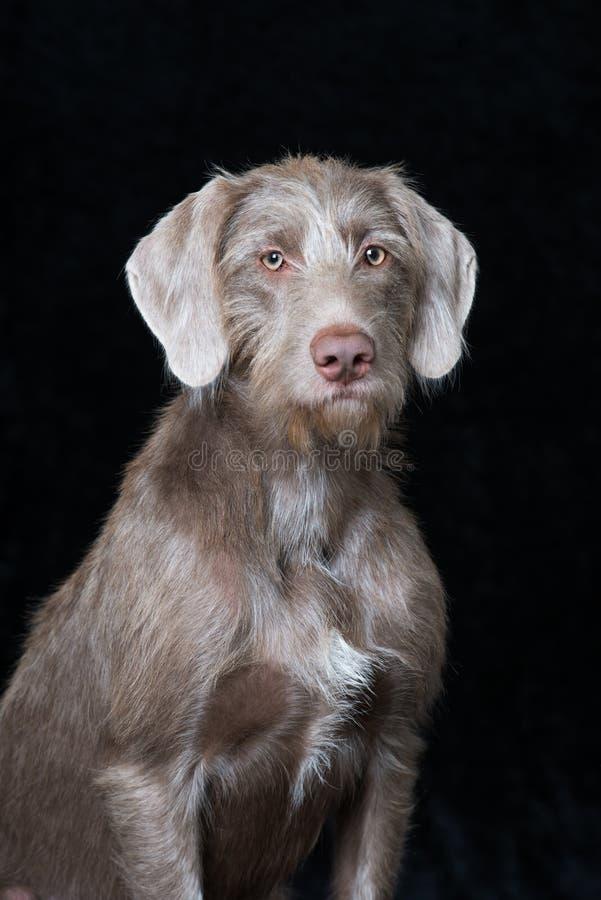 在黑背景的斯洛文尼亚wirehair狗 库存图片