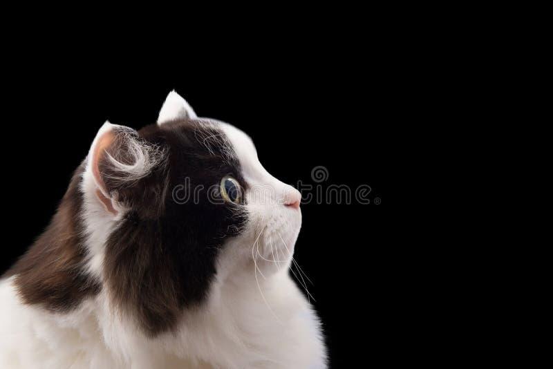 在黑背景的猫头 库存图片