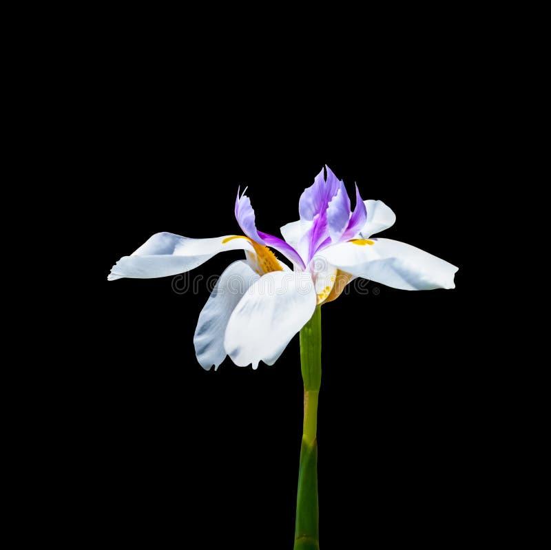在黑背景的白色和紫色虹膜花 免版税库存图片