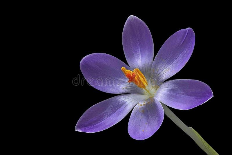 在黑背景的紫色番红花花从左边 库存图片