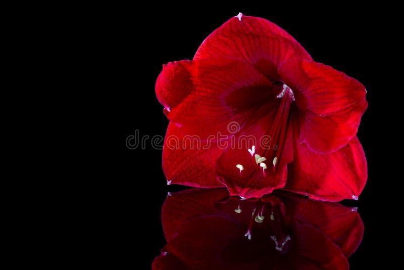 在黑背景的红色百合特写镜头 花被反射优美的表面上 库存照片