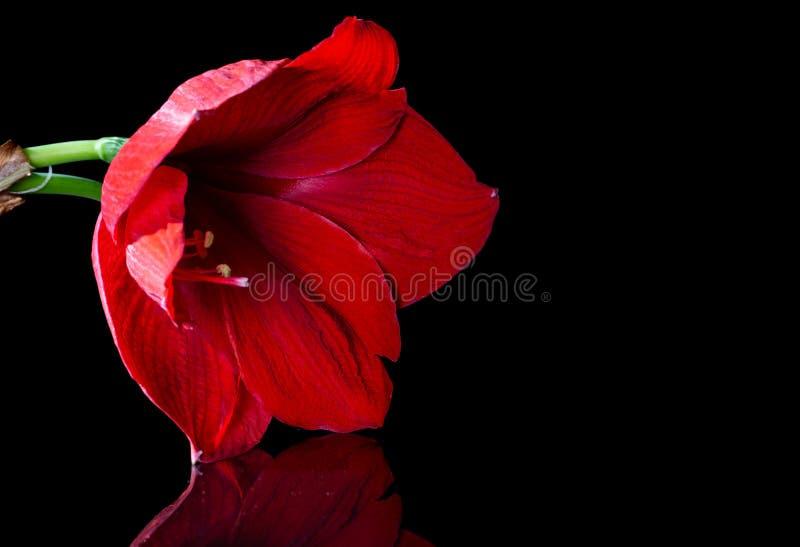 在黑背景的红色百合特写镜头 花被反射优美的表面上 免版税库存照片