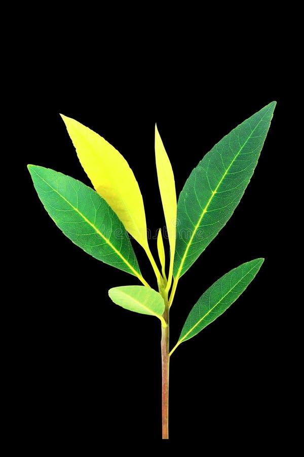 在黑背景的绿色叶子 免版税库存照片
