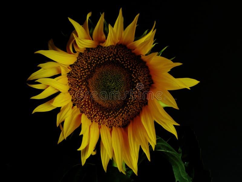 在黑背景的美丽的明亮的黄色向日葵 概念-太阳,夏天,心情 光和阴影戏剧  免版税库存照片