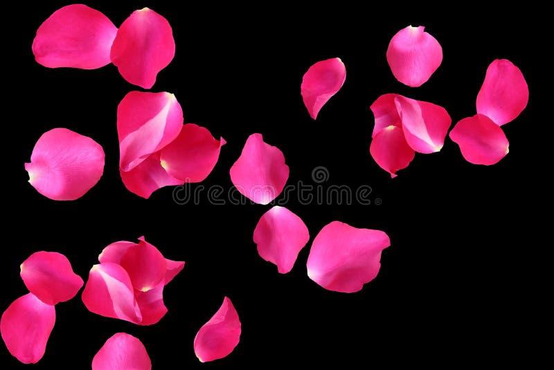 在黑背景的美丽的桃红色玫瑰花瓣 库存照片