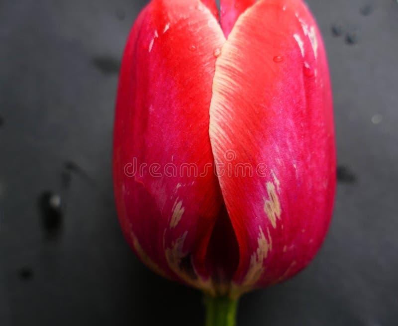 在黑背景的美丽的红色郁金香花 免版税库存图片