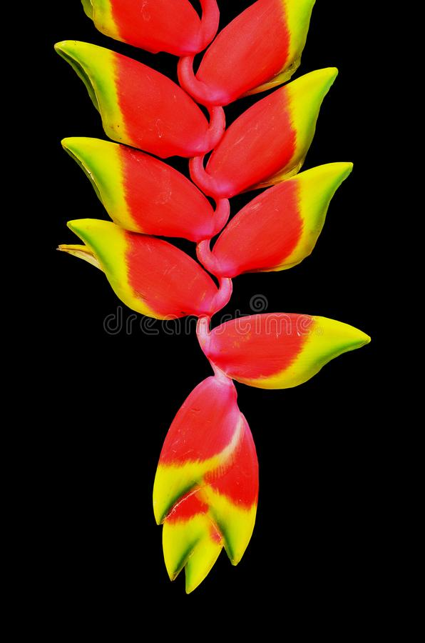 在黑背景的美丽的Heliconia花孤立 库存图片