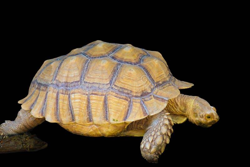 在黑背景的草龟 免版税库存图片