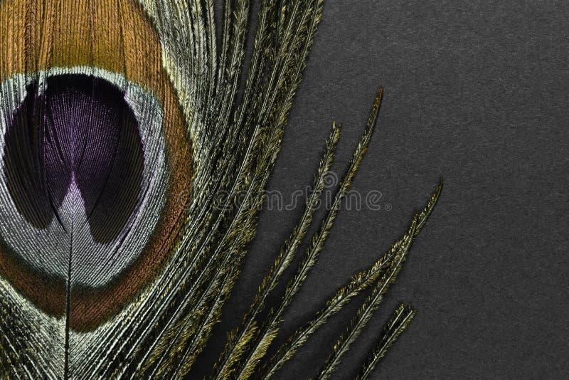 在黑背景的金黄孔雀羽毛 免版税库存图片