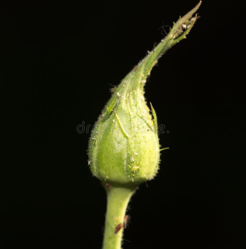 在黑背景的闭合的玫瑰色花 库存照片