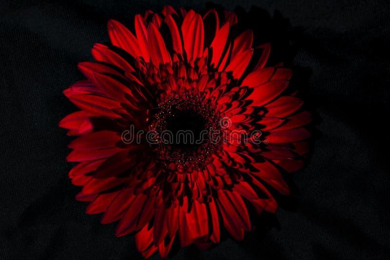 在黑背景的非洲雏菊花,被隔绝,关闭  图库摄影
