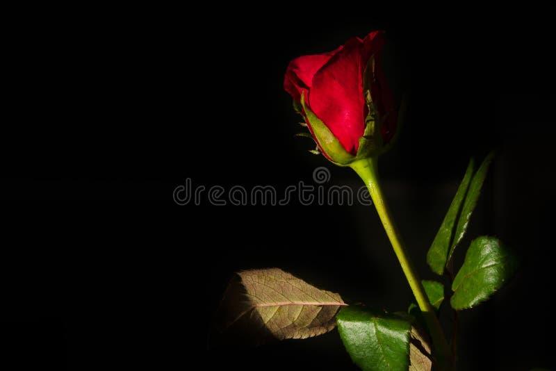在黑背景隔绝的一朵红色玫瑰 免版税库存照片