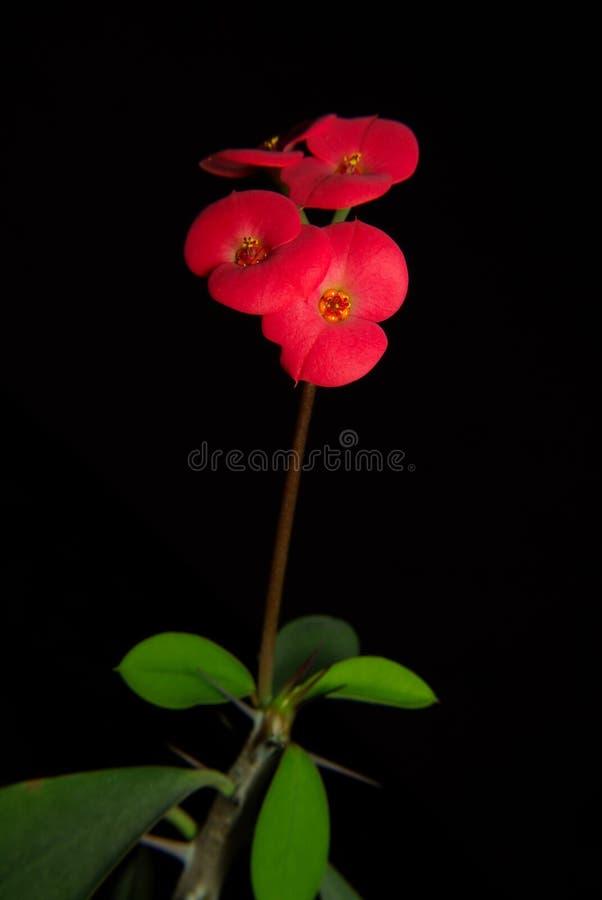 在黑背景隔绝的乳草红色花 库存照片