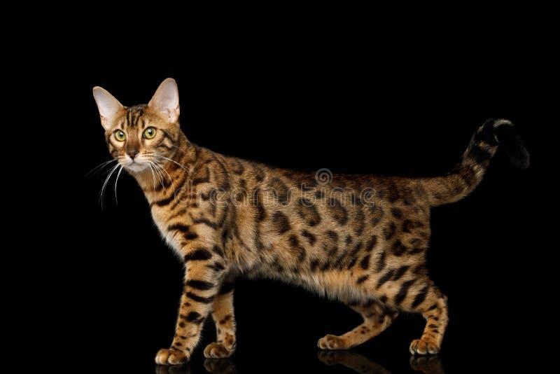 在黑背景隔绝的可爱的品种孟加拉猫 免版税库存图片
