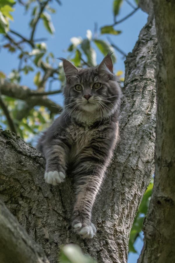 在黑背景隔绝的可爱的缅因树狸猫凝视特写镜头画象,正面图 免版税库存照片