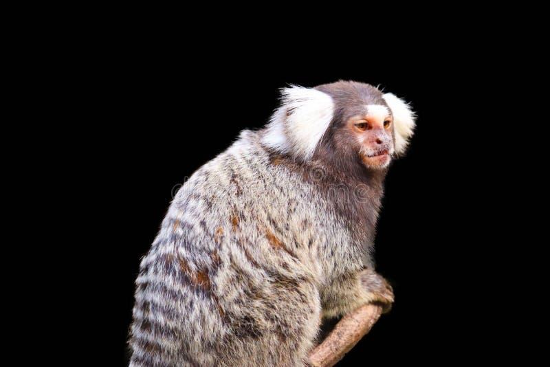 在黑背景隔绝的小猿 免版税库存图片
