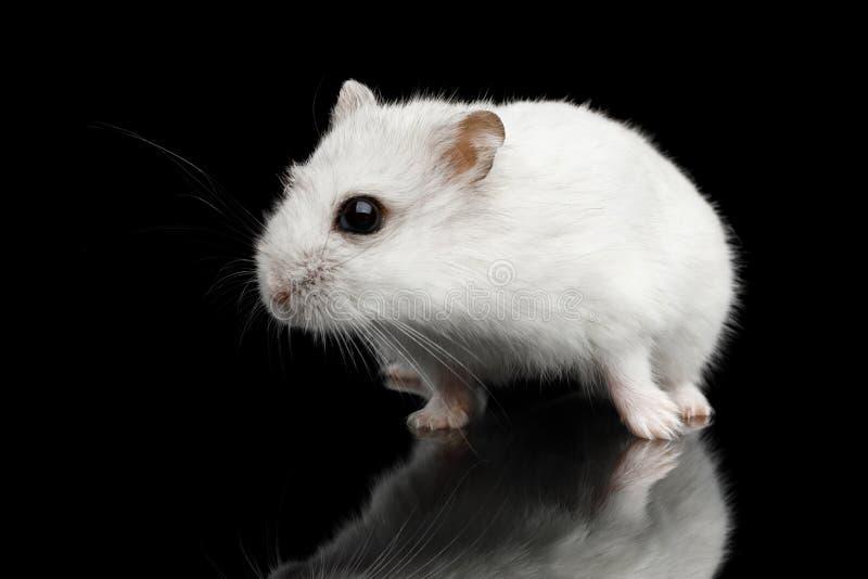 在黑背景隔绝的小的白色仓鼠 免版税库存图片