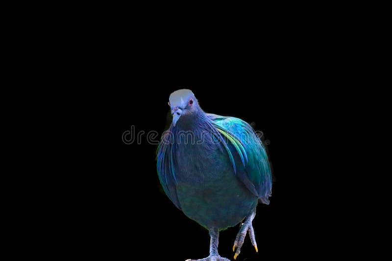 在黑背景隔绝的尼科巴鸽子 库存图片