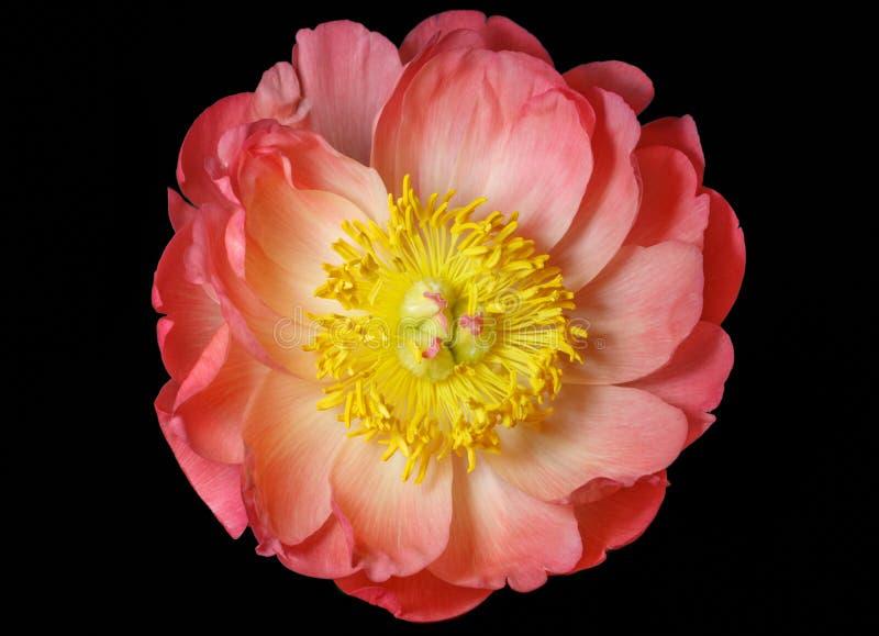 在黑背景隔绝的桃红色牡丹关闭,顶视图 与桃红色瓣和黄色中部的美丽的精美牡丹 库存图片