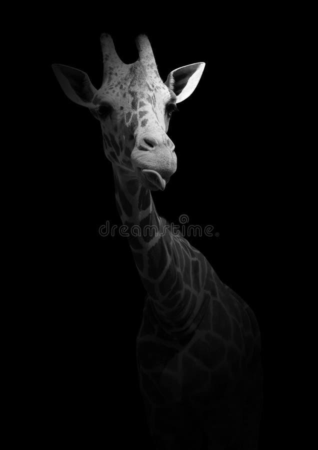 在黑背景隔绝的滑稽的长颈鹿 与动物的黑白照片 免版税库存照片