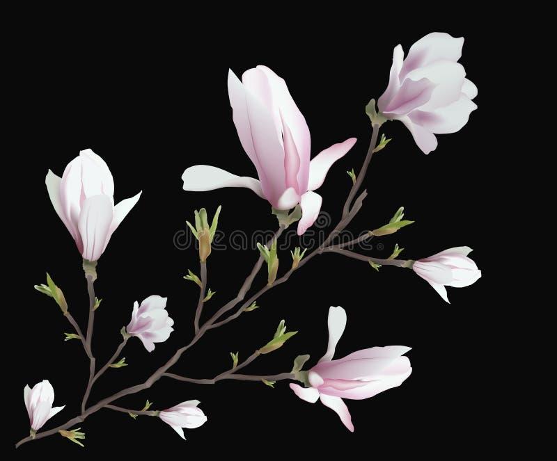 在黑背景隔绝的现实木兰花 木兰分支-春天,夏天,女性魅力,阴物的标志 皇族释放例证