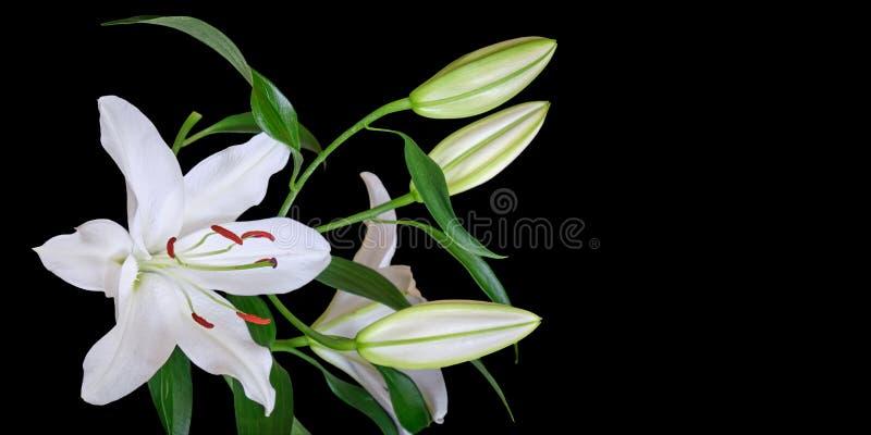 在黑背景隔绝的白百合,与文本的空间在右边 百合属植物Navona,亚洲百合杂种品种 库存照片