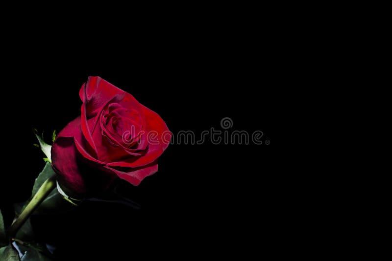 在黑背景隔绝的红色玫瑰,浪漫 免版税库存图片