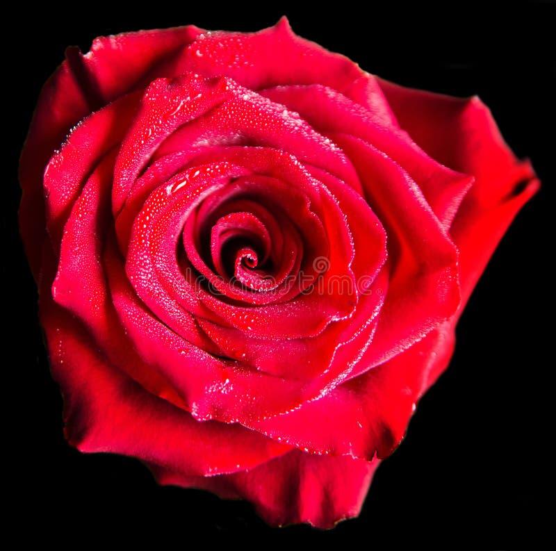 在黑背景隔绝的红色玫瑰 激情 免版税库存图片
