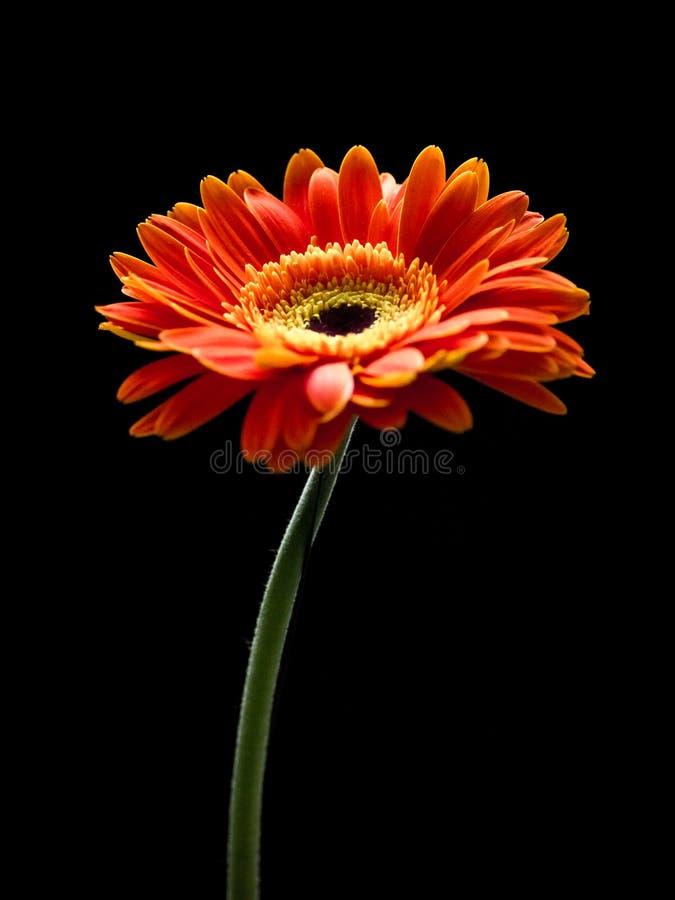 在黑背景隔绝的美丽的红色和橙色大丁草花 库存照片
