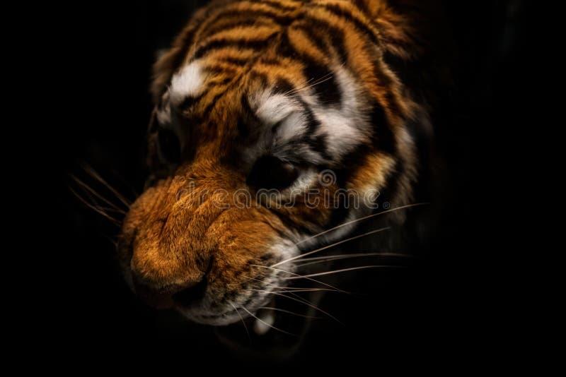 在黑背景隔绝的老虎画象 免版税图库摄影