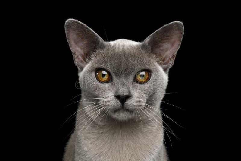 在黑背景隔绝的蓝色缅甸猫 库存照片