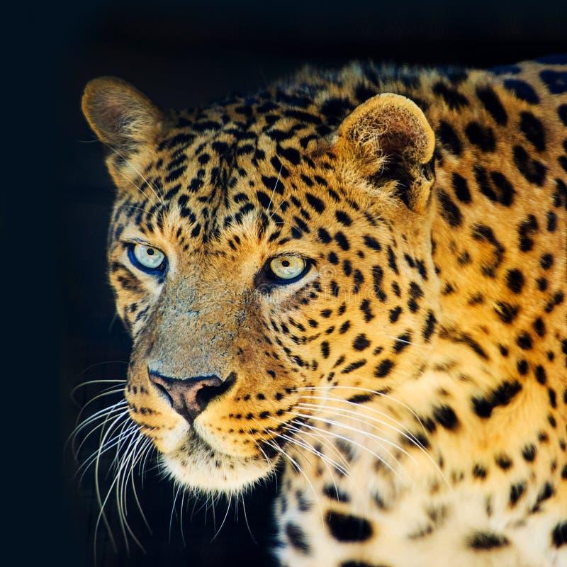 在黑背景隔绝的豹子 免版税库存照片