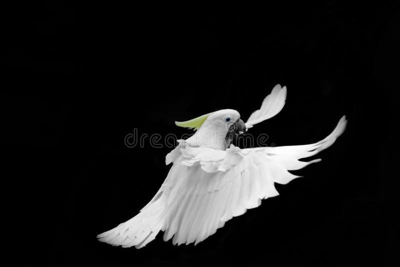 在黑背景隔绝的飞行的白色硫磺有顶饰美冠鹦鹉 免版税库存照片