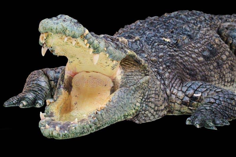 在黑背景隔绝的鳄鱼 免版税库存图片