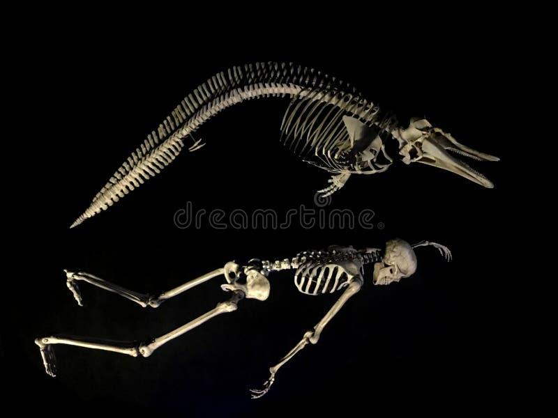 在黑色比较的海豚和人骨骼 库存照片