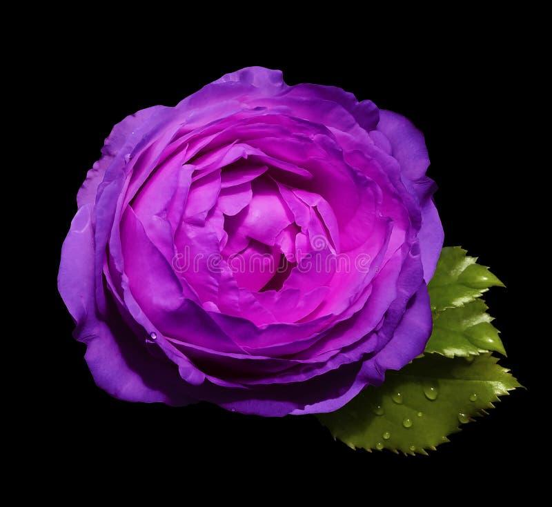 在黑色的桃红色紫色花玫瑰隔绝了与裁减路线的背景没有阴影 绿色叶子上升了 对设计 库存照片