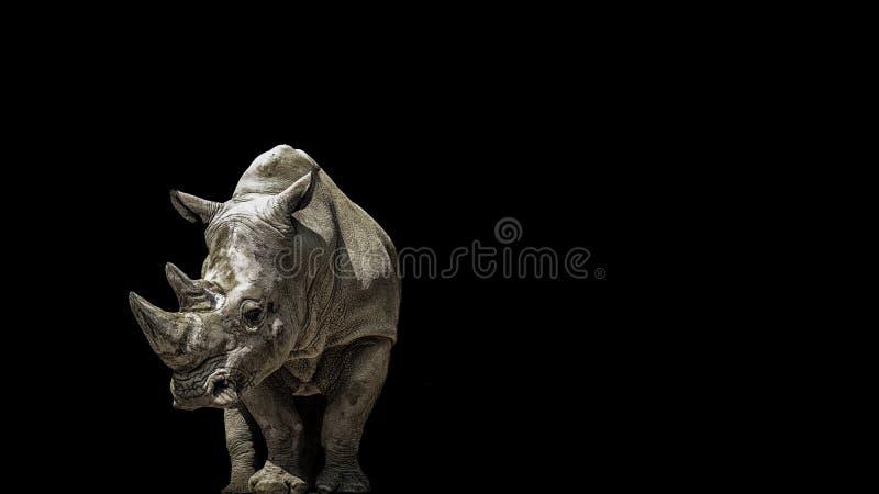 在黑色的画象犀牛 免版税库存图片