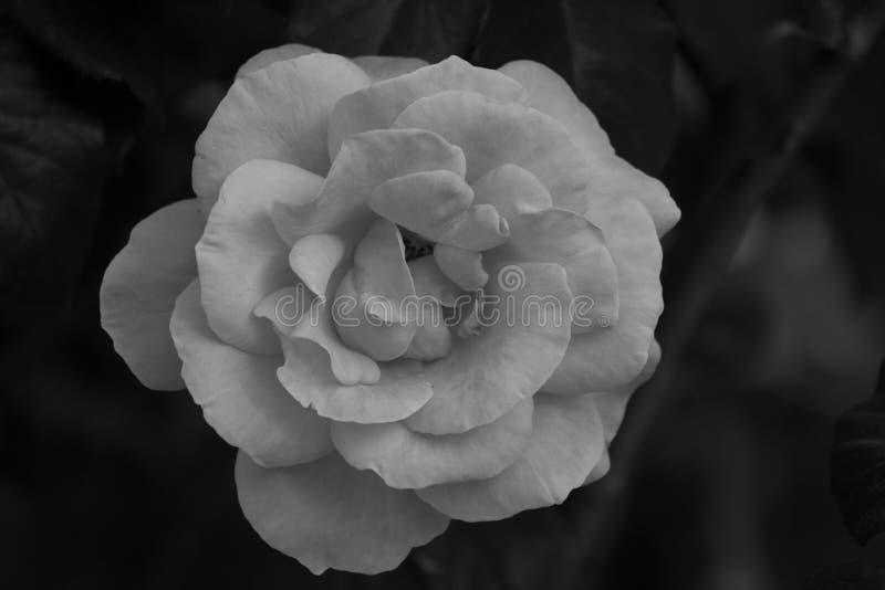 在黑色的白色玫瑰 免版税图库摄影