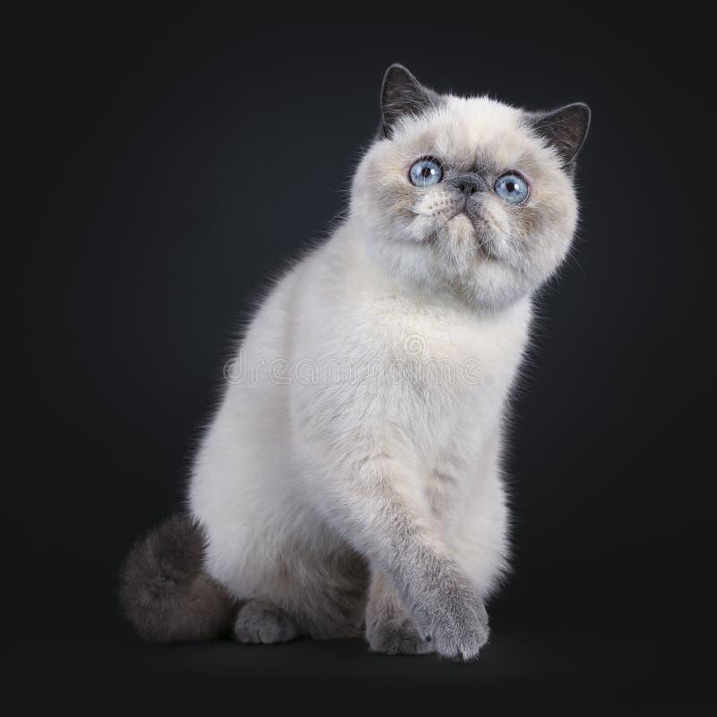 在黑色的逗人喜爱的异乎寻常的Shorhair猫 图库摄影