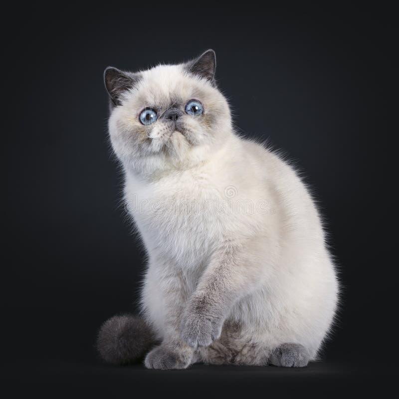 在黑色的逗人喜爱的异乎寻常的Shorhair猫 免版税库存照片