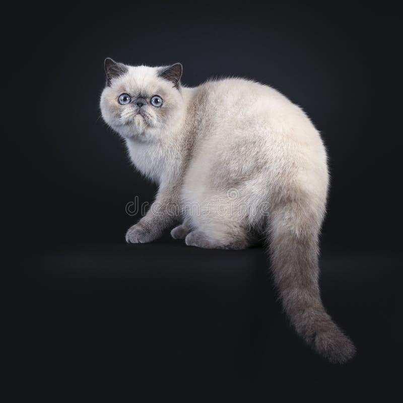 在黑色的逗人喜爱的异乎寻常的Shorhair猫 免版税库存图片