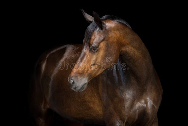 在黑色的马画象 库存图片