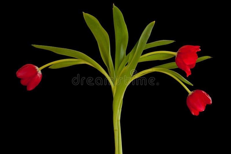 在黑色背景查出的深红郁金香 免版税库存图片