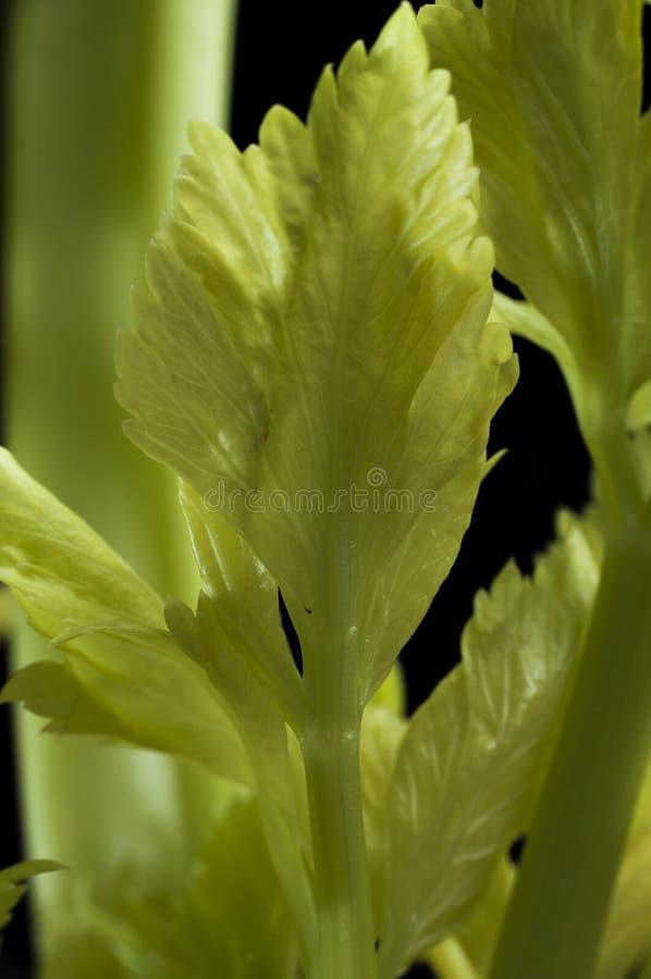 在黑色背景的芹菜 免版税图库摄影