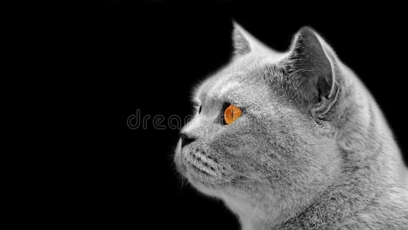 在黑色隔绝的波斯家谱英国shorthair猫边姿势 库存照片