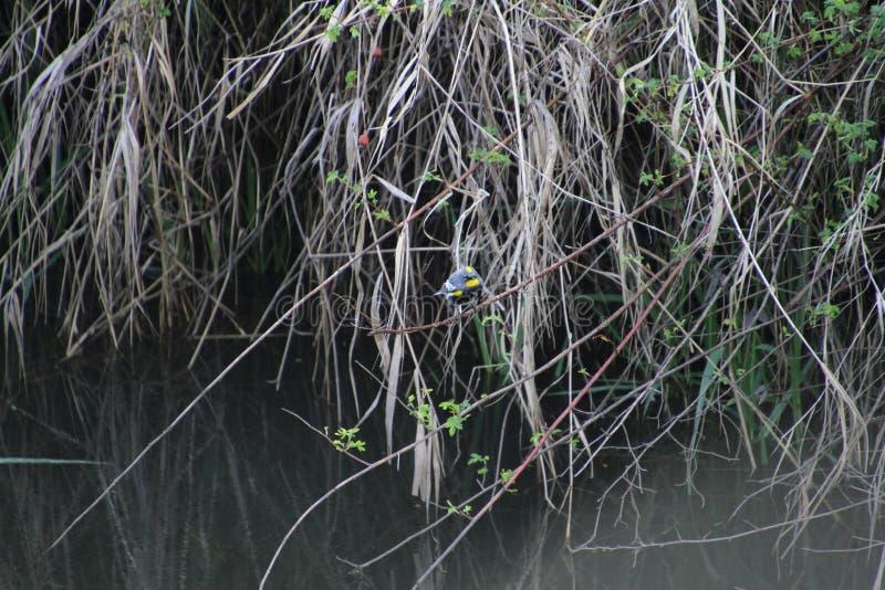 在黑莓藤的一只金黄被加冠的麻雀 免版税图库摄影